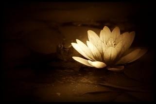 flor de lotus dour